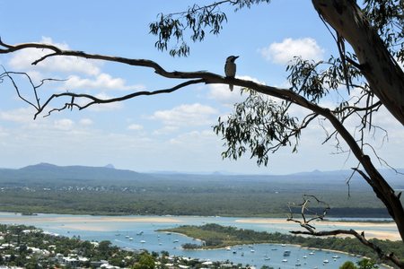 A Kookaburra bird sits on a gum tree and looks at a panoramic landscape sea view of Noosa Heads, Sunshine Coast, Queensland, Australia