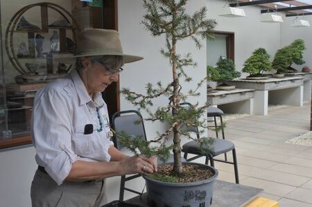 CANBERRA - MAR 01 2019:Female Gardener trimming bonsai tree at National Arboretum Canberra Australia.Bonsai is a Japanese art form produce small trees that mimic the shape and scale of full size tree.
