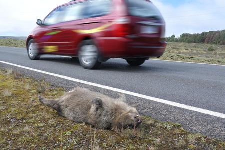 TASMANIA - MAR 23 2019:Roadkill wombat.Tasmania has long held the unenviable title of Stock Photo
