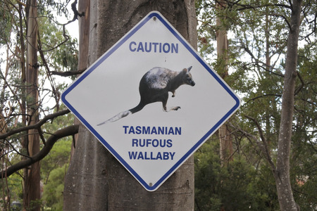 Caution road sign of Tasmanian Rufous Wallaby in Tasmani Australia on a tree in Tasman National Park Tasmania, Australia.