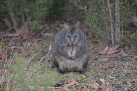 Tasmanian pademelon  is the sole species of pademelon found in Tasmania, and was formerly found throughout south-eastern Australia.