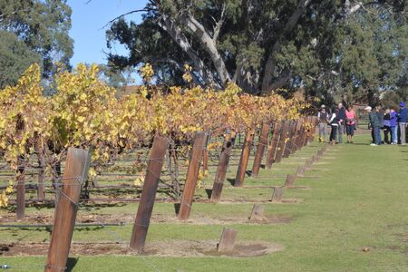 Adelaide, South Australia - May 14 2019:Wine tour in a Vineyard in Barossa Valley. Barossa Valley is a renowned wine-producing region northeast of Adelaide in South Australia
