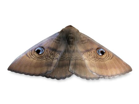 Southern old lady moth (Dasypodia selenophora moth) isolated on white background. No people. Copy space