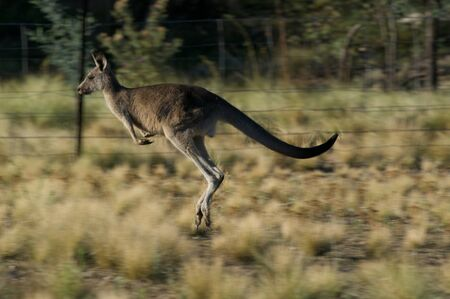 Eastern grey Kangaroo Jumping in the outback of Canberra Australia Capital Territory Imagens