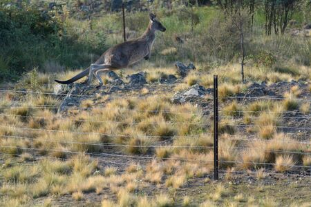 Eastern grey Kangaroo Jumping over a farm fence in the outback of Canberra Australia Capital Territory