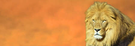 Portrait of a lion face looking at camera against dramatic sunset sky background.