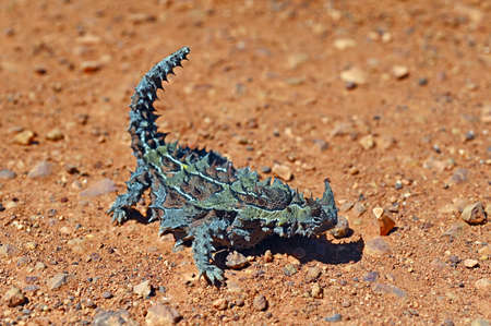 Above view of Thorny Devil full length in Western Australia Outback Reklamní fotografie