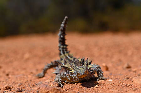 Low angle view of Thorny Devil in Western Australia Outback