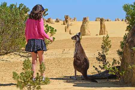 Young Australian girl age (10) interacting with a Western grey kangaroo  in the pinnacles desert near Cervantes in Western Australia Reklamní fotografie