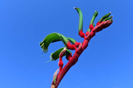 Kangaroo paw against clear blue sky . The flower is endemic to the south-west of Western Australia.