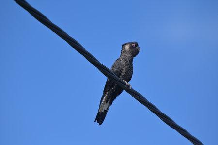 One Carnaby's black cockatoo (Zanda latirostris), short-billed black cockatoo, is a large black cockatoo endemic to southwest Australia sitting on a electric wire. Stock fotó