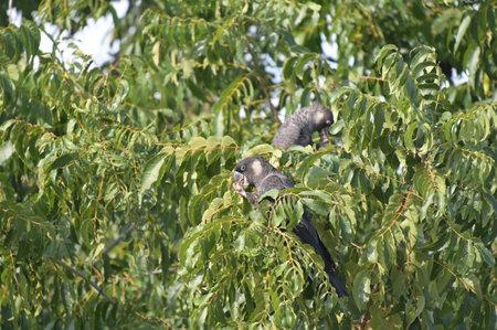 Two Carnaby's black cockatoo (Zanda latirostris), short-billed black cockatoo, is a large black cockatoo endemic to southwest Australia eating seeds of western sheoak (Allocasuarina fraseriana) tree.