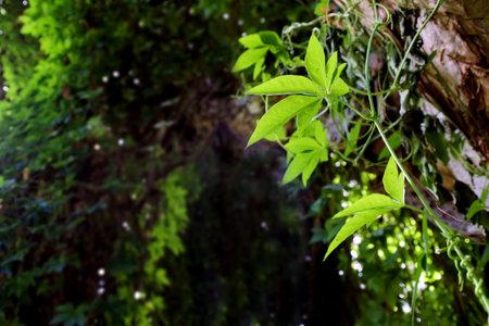 Close up of a climbing plantin a rain forest forest. Stock fotó