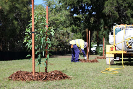 An unrecognizable city landscaper worker planting a new trees in a public park.