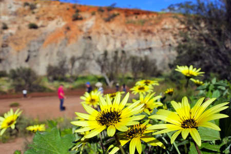 Yellow Cape Weed (Arctotheca Calendula) wildflowers blossom against Irwin River riverbank and cliffs. Banque d'images