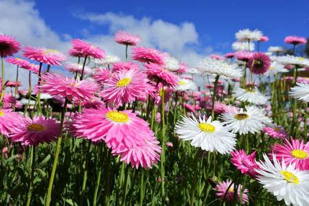 Large group of Everlasting daisies (Rhodanthe chlorocephala subspecies rosea) wildflowers blossoming in Western Australia.