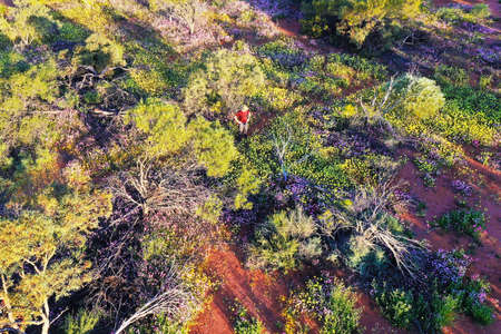 Aerial drone landscape view of Australian man looking at blossoming wildflowers in the outback of Western Australia.