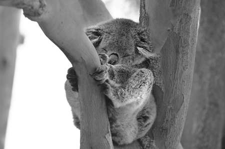 An adult Koala sleeping on Eucalyptus tree in Australia. About 100,000 Koalas left in the wild suffering from the effects of habitat destruction, domestic dog attacks, bush fires and road accidents.