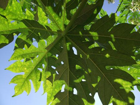 햇빛에 배경 파파야 잎 배경 스톡 콘텐츠