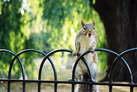 조심 스러 운 다람쥐는 공원 울타리에 자리 잡고 스톡 콘텐츠