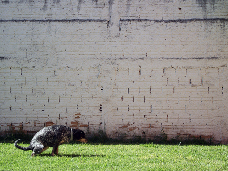 pooping: dog squatted on grass against white shaded wall