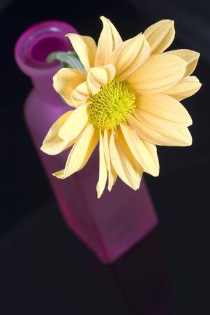 Yellow daisy flower arranged in purple bottle photo