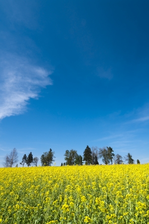 Oilseed rape field against blue sky with trees in background photo