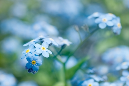 Close-up of beautiful forget me not blossoms  Shallow depth of field
