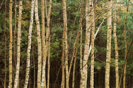 Grove of birch trees in fall color photo