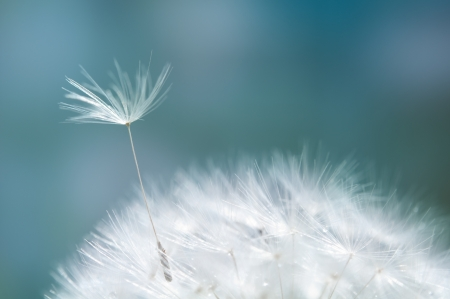 Closeup of dandelion - natural background Stock Photo