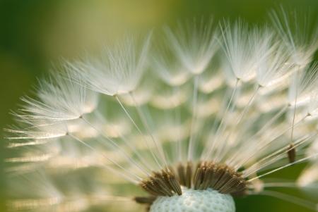 Closeup of dandelion Фото со стока - 22638770