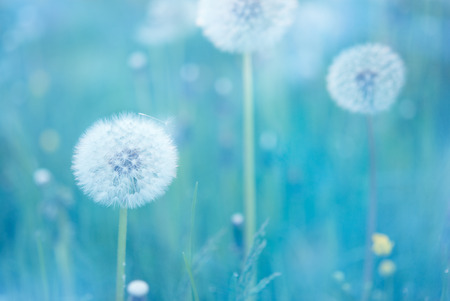 Close up of dandelion flowers with narrow depth of field
