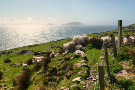 Sheep flock on green hills in Dingle, County Kerry, Ireland