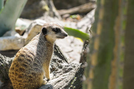 suricata: Suricate or meerkat (Suricata suricatta) in zoo looking out