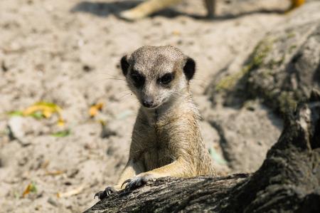 suricatta: Suricate or meerkat (Suricata suricatta) in zoo looking out