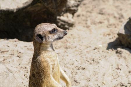 zoologico: Suricate or meerkat (Suricata suricatta) in zoo looking out