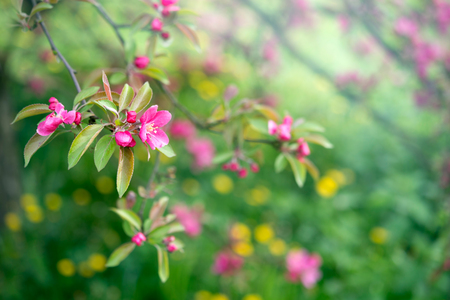 Spring or summer nature background with cherry blossom tree flowers 版權商用圖片