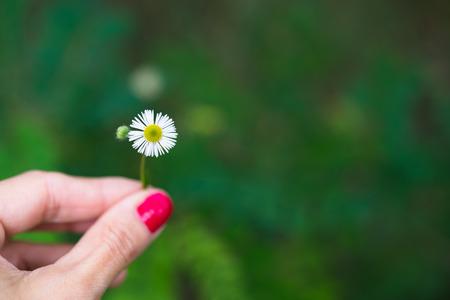 Vrouwelijke hand die enige madeliefjebloem houden tegen groene vage achtergrond met copyspace
