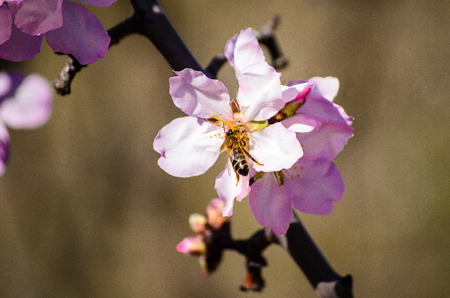 blosom: Almond bloom Stock Photo