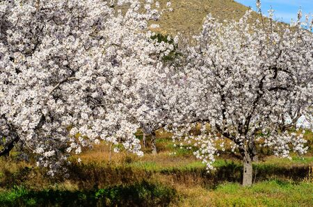 blosom: Almond trees blooming