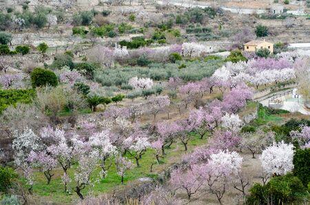 blosom: Almond trees blooming