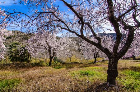 blosom: Blue sky behind Almond trees blooming Stock Photo