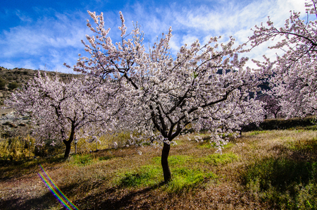 Blue sky behind Almond trees blooming Stock Photo