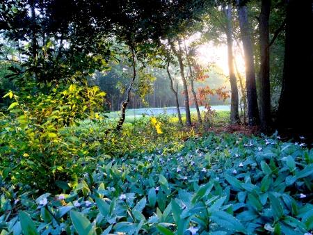 naturaleza: amanecer en el bosque