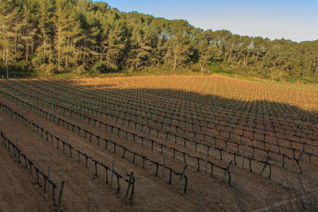 The vineyards: the main and essential base of wine Foto de archivo