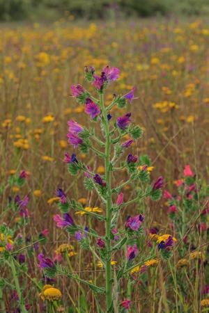 Una hermosa y resplandeciente Viborera en el campo Foto de archivo - 89601442