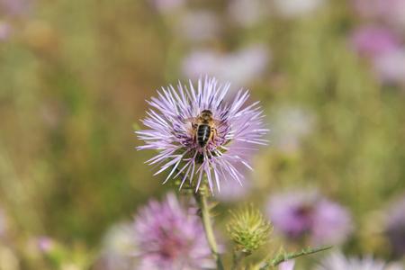 Abeja alimentándose del rico néctar de la flor Foto de archivo