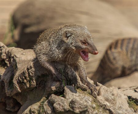 Mongoose.Animals of the Nature Park