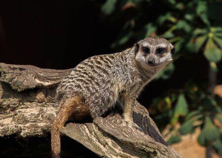 Parque zoológico de los animales de Meerkats Foto de archivo
