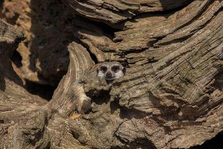 Meerkats Animals of the Nature Park